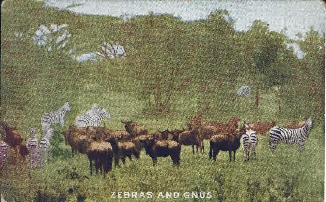 ZebrasGnus1911